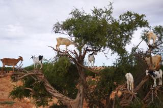 Argan Tree Climbing Goats Morocco 2