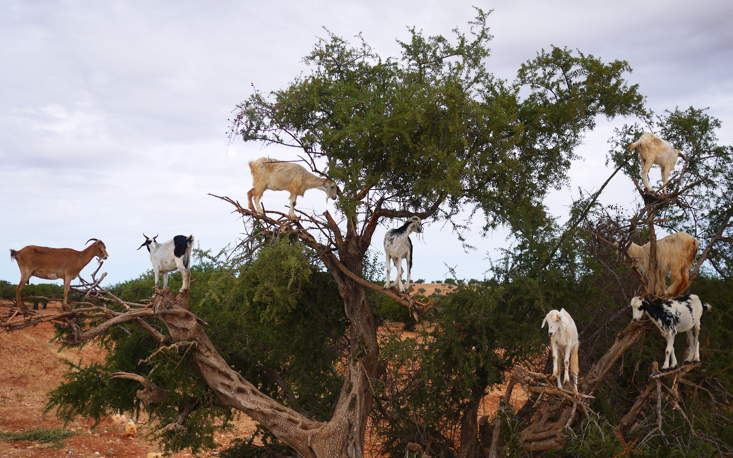 Argan Tree Goats Morocco