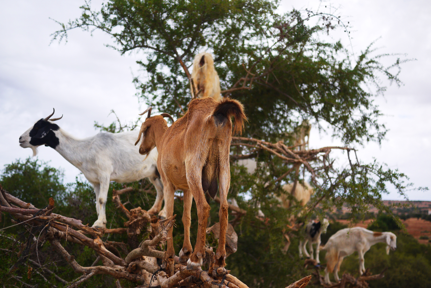 Argan Tree Goats Morocco 3