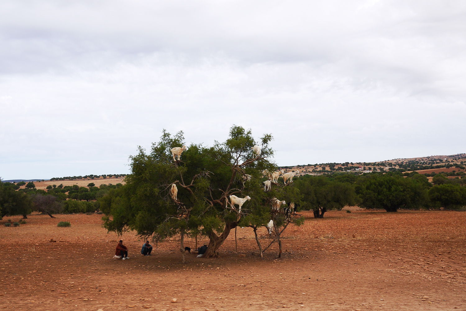 Argan Tree Goats Morocco distance